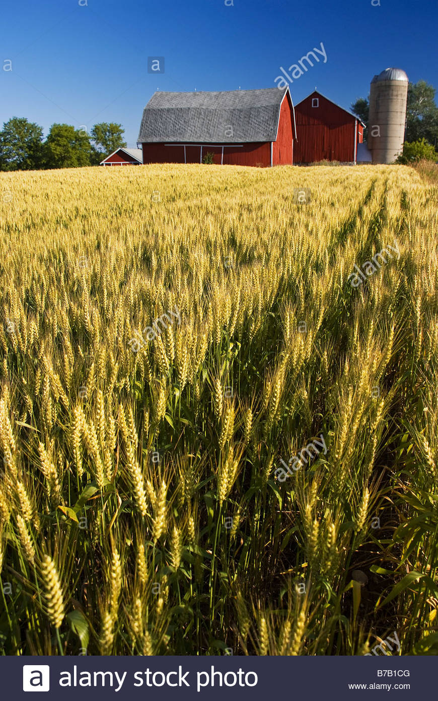 Wheat field and barn - Stock Image