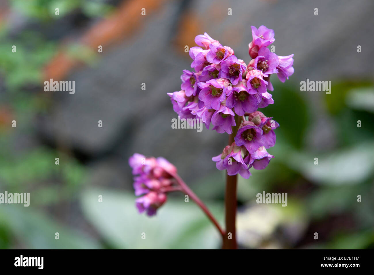 A wild flower at Kanas national park in Xinjiang in China. - Stock Image