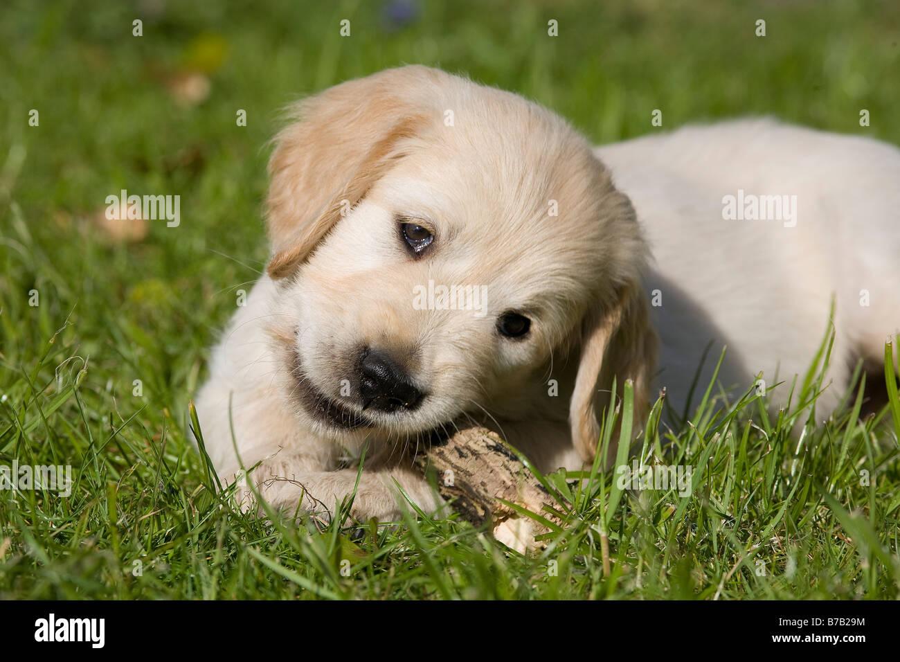 Golden Retriever Male Puppy 7 Weeks Old Yorkbeach Sandstone Duke