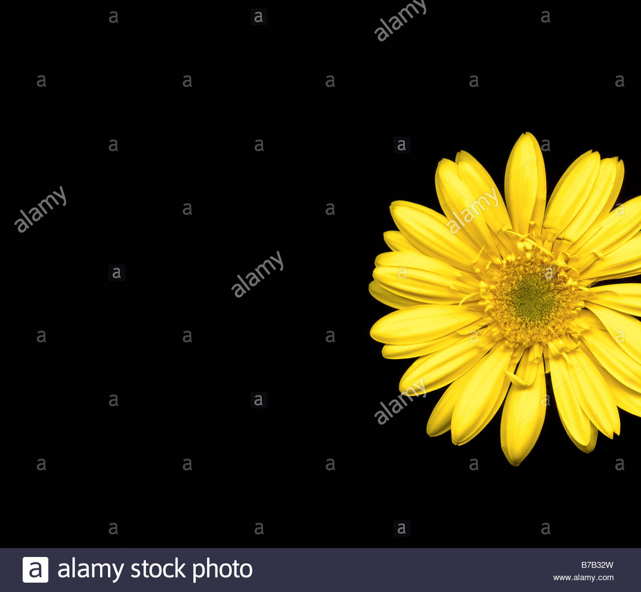 Studio shot of Gerber daisy - Stock Image