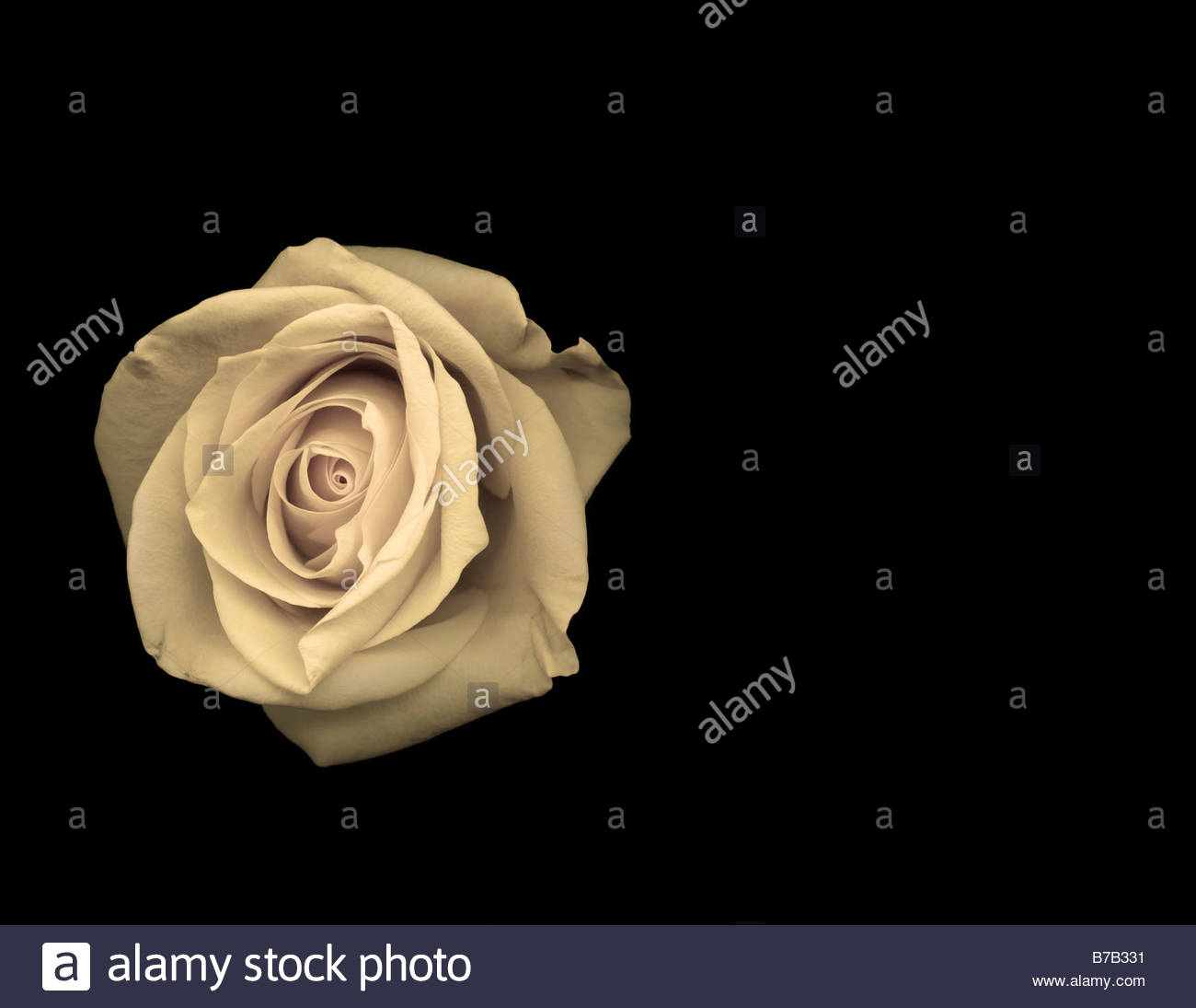 Studio shot of rose - Stock Image