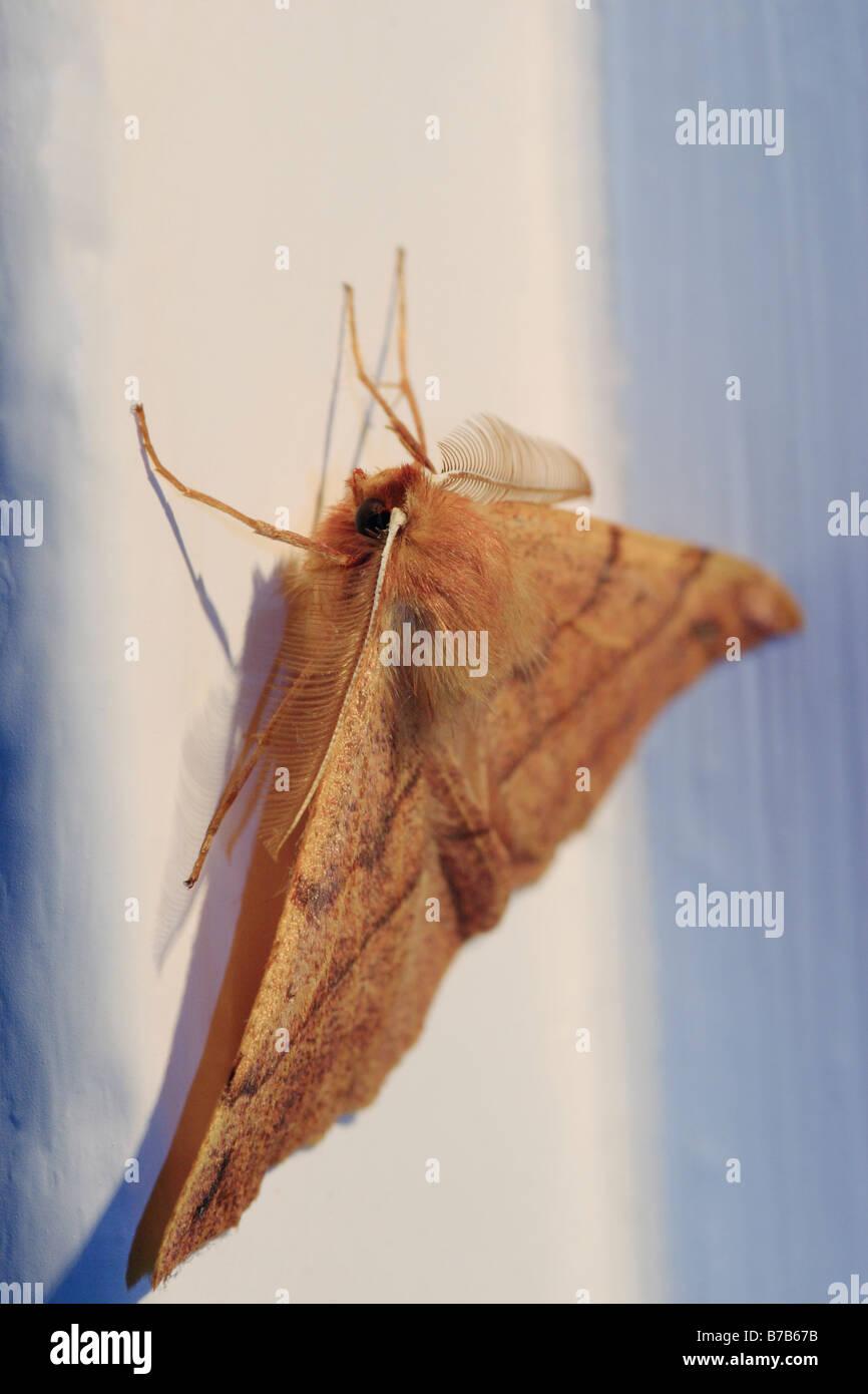 The Lackey (Malacosoma neustria). Moth - Stock Image