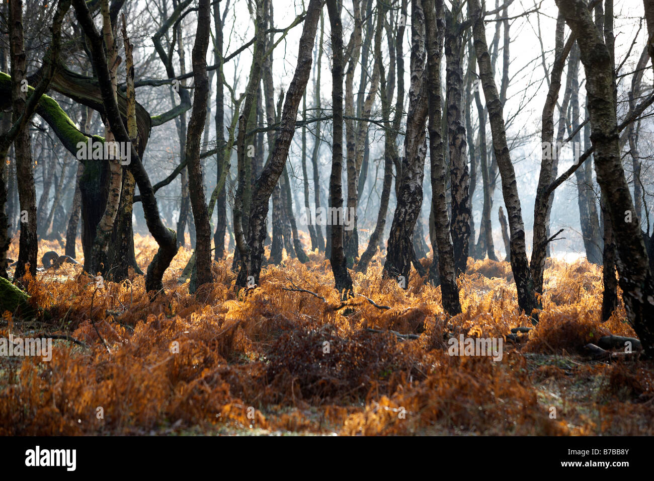 Silver birch trees on Cannock Chase in Staffordshire, UK - Stock Image