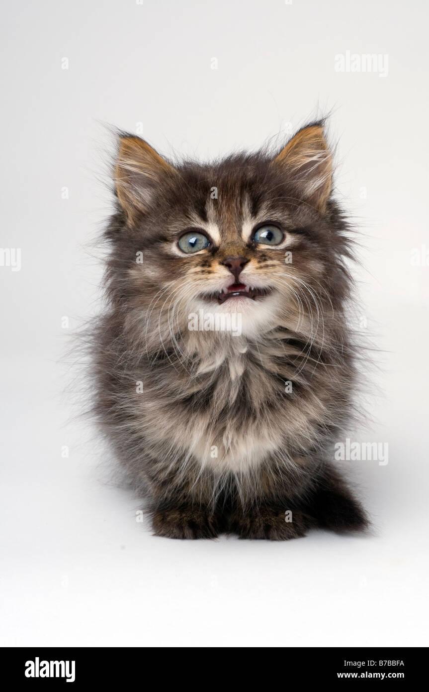Cute six week old kitten - Stock Image