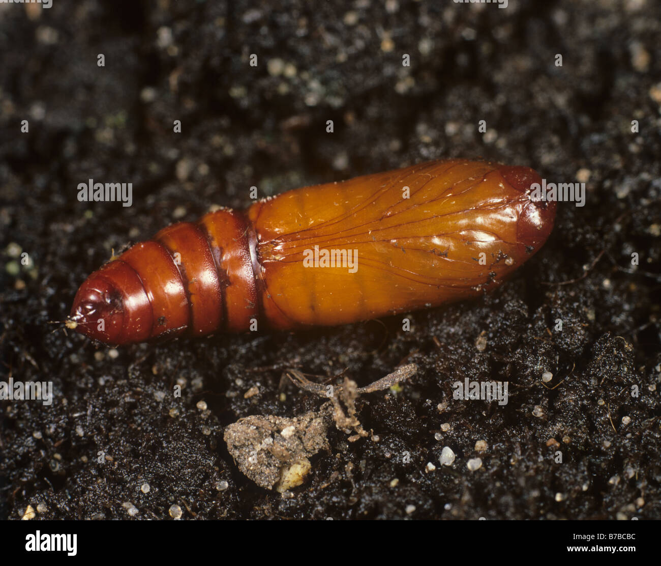 American bollworm Helicoverpa armigera pupa on soil - Stock Image
