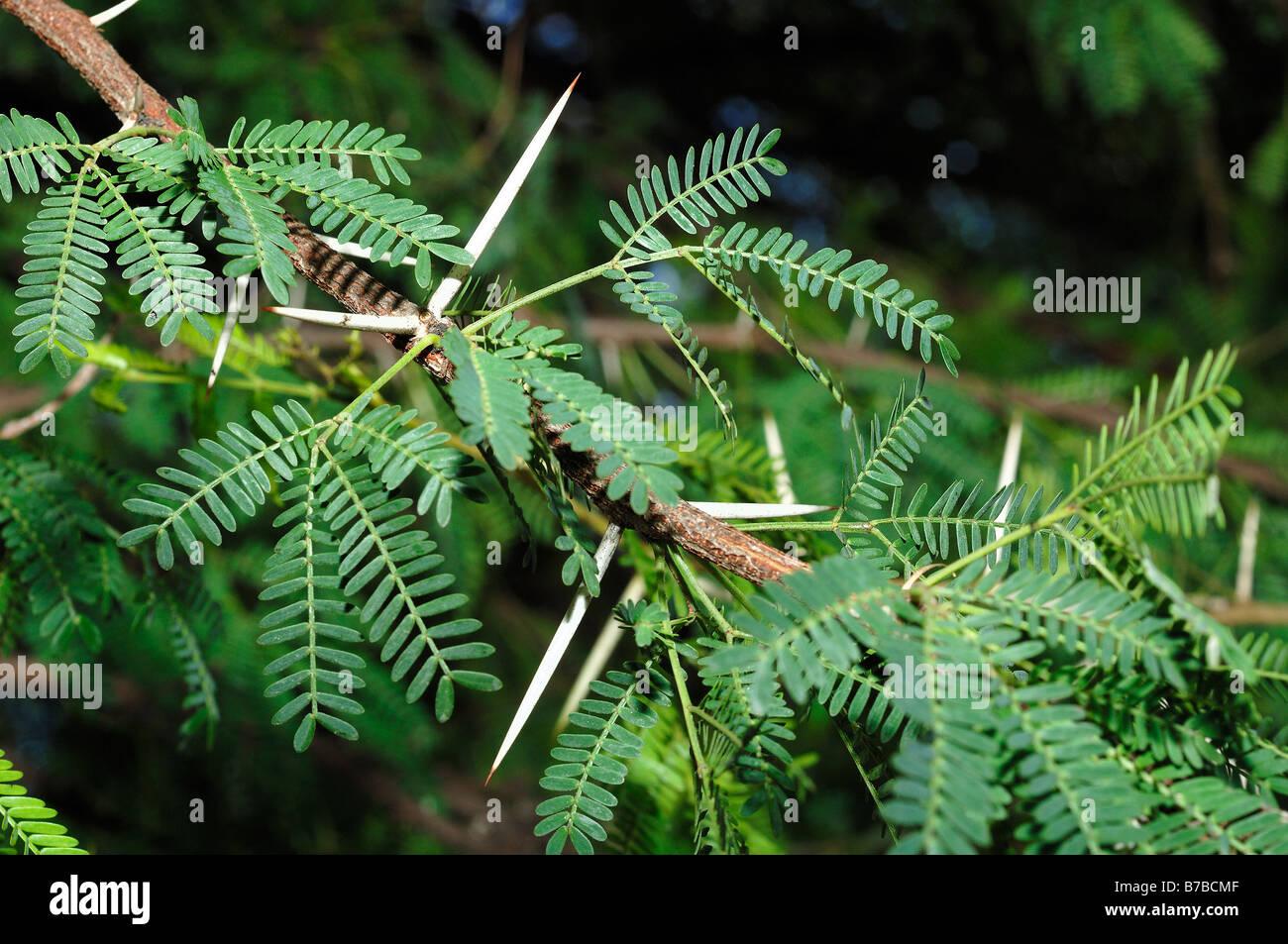 Acacia Karroo Detail Of Leaves Stock Photo 21764415 Alamy