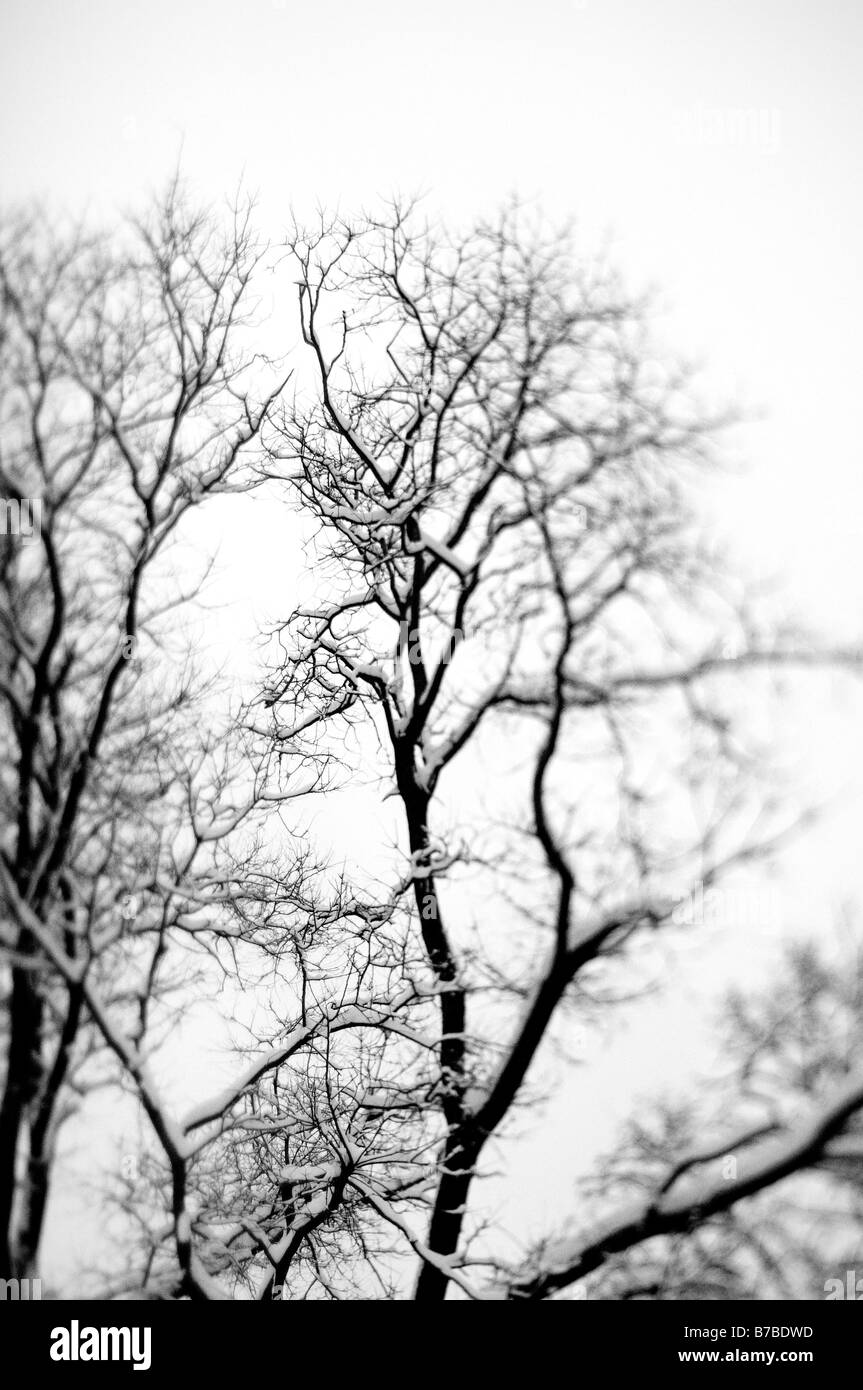 Trees with snow - Stock Image