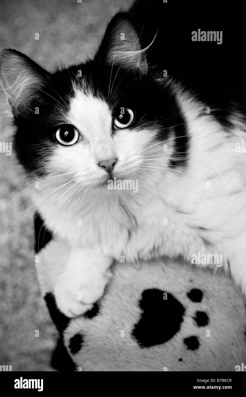 Domestic cat seen from above - Stock Image