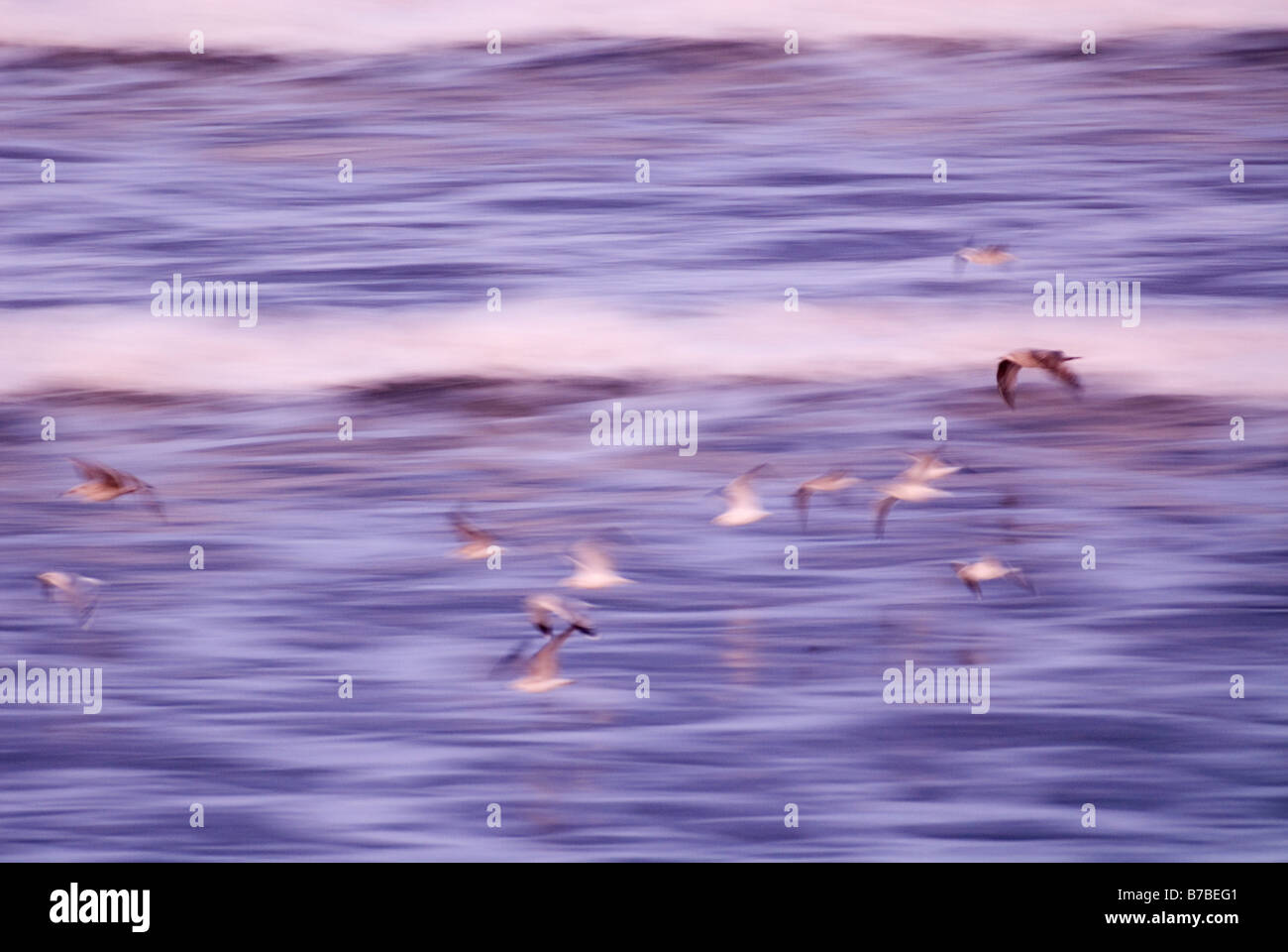 Common gulls Larus canus flying past with larger immature gulls slow shutter speed for motion blur Caithness Scotland - Stock Image