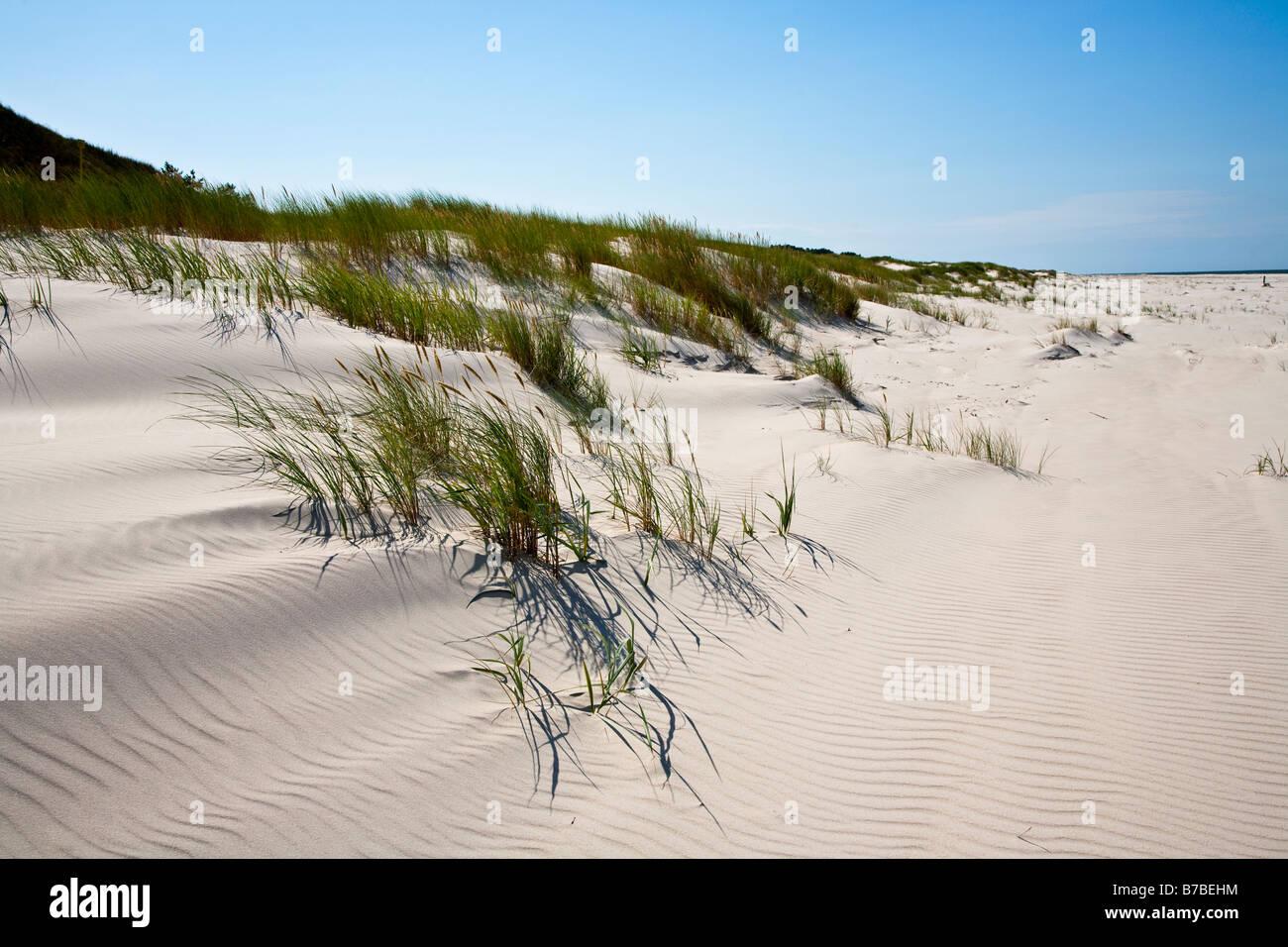 Marram grass Ammophilia arenaria in young sand dunes Slowinski national park Baltic sea Poland - Stock Image