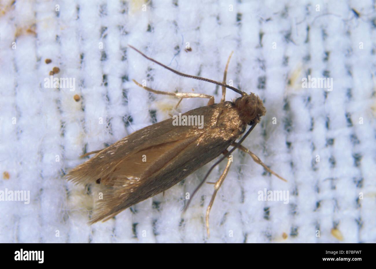 Clothes moth Tineola biselliella adult moth on fabric - Stock Image