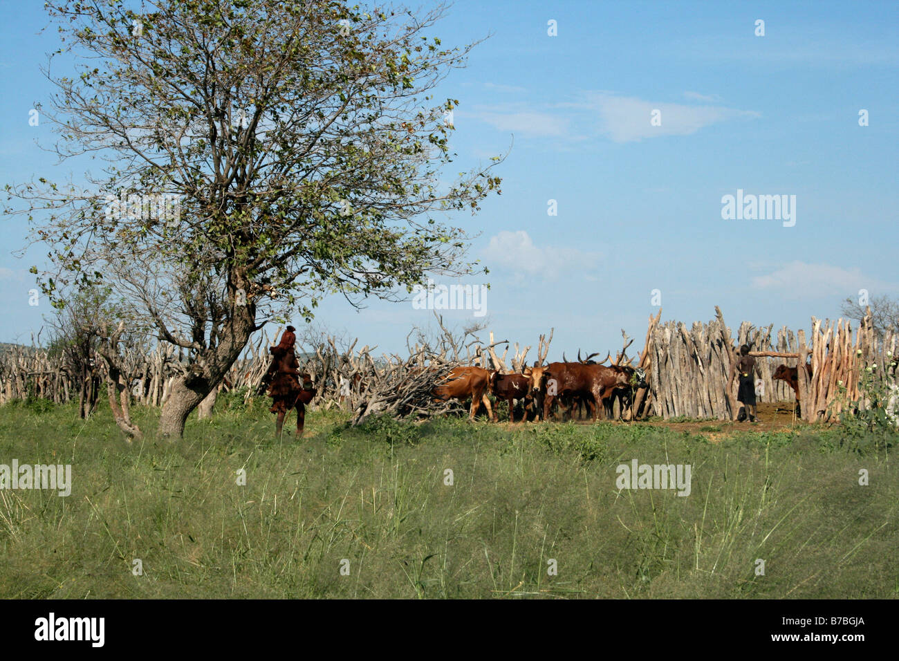 Namibia, Himba, Women, Cattle, Wood, Fence, Kraal, Cows - Stock Image