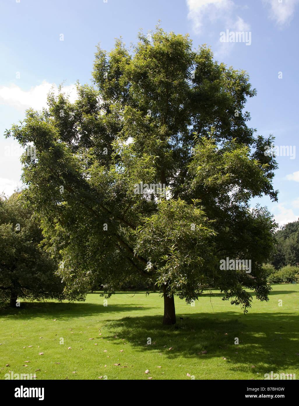Oak tre Quercus acutissima  National Botanic Gardens Nationale Plantentuin Meise Brussels Belgium - Stock Image