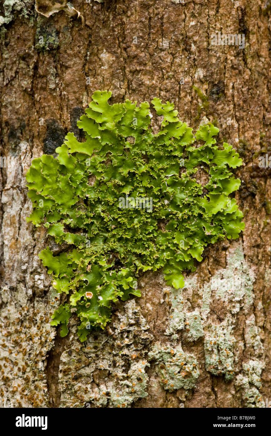 Lichen Madagascar - Stock Image
