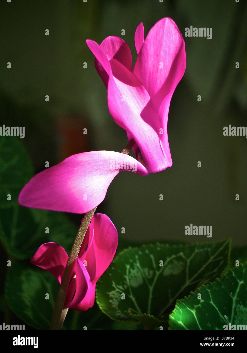 Closeup of a flowering house plant bright pink flowers against deep closeup of a flowering house plant bright pink flowers against deep green leaves mightylinksfo Choice Image