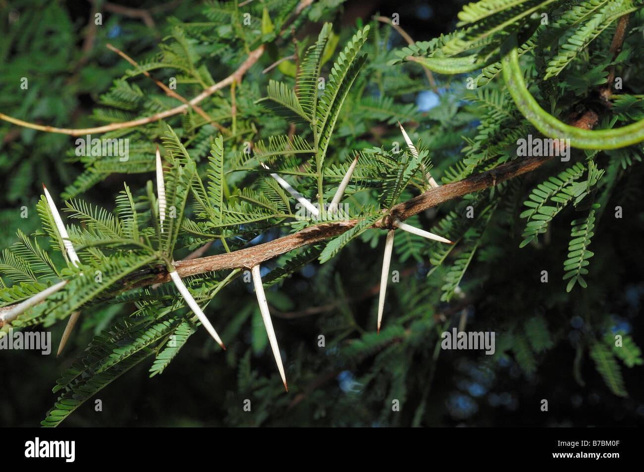 Acacia Karroo Detail Of Leaves And Fruits Stock Photo 21770127 Alamy
