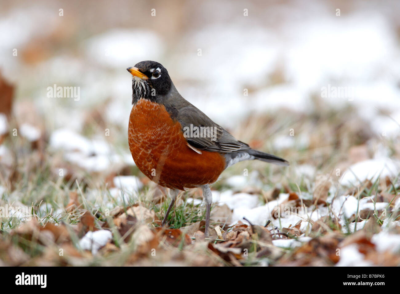 American Robin in Snow - Stock Image