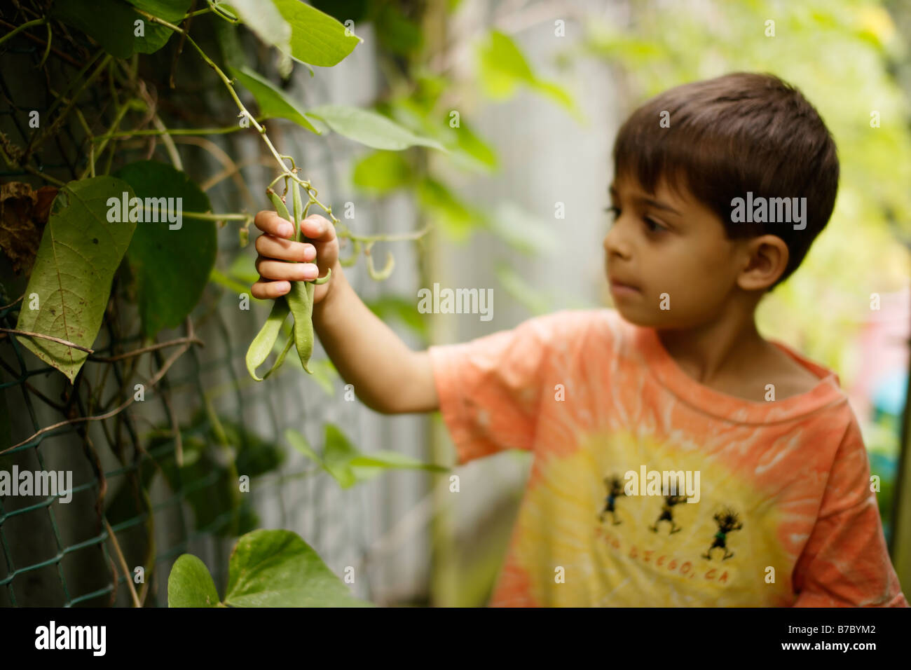 Six year old boy picks green beans in garden vegetable patch - Stock Image