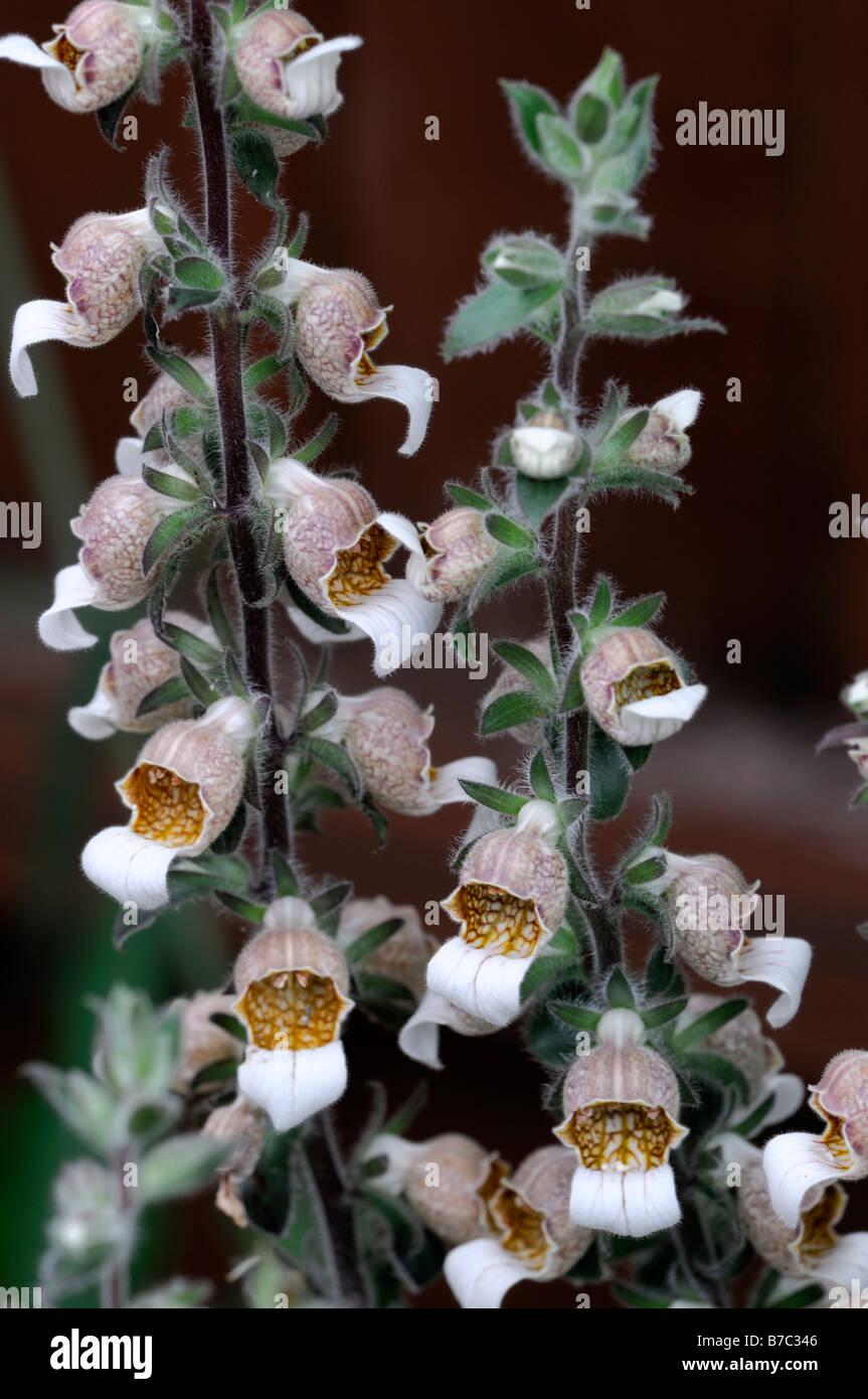 Digitalis lanata Cafe Creme chocolate foxglove biennial short-lived perennial flower raceme - Stock Image