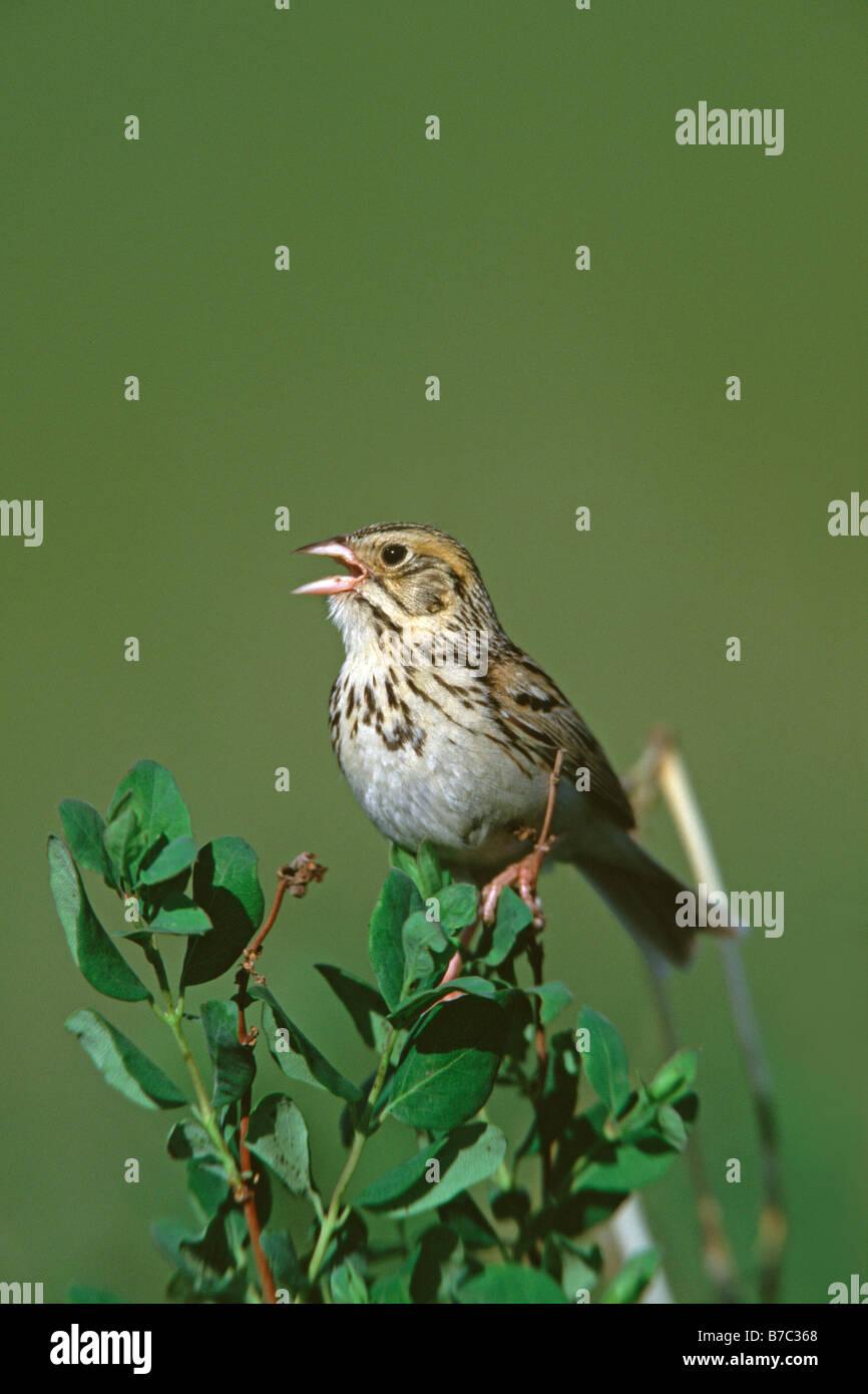 Singing Bairds Sparrow - Stock Image