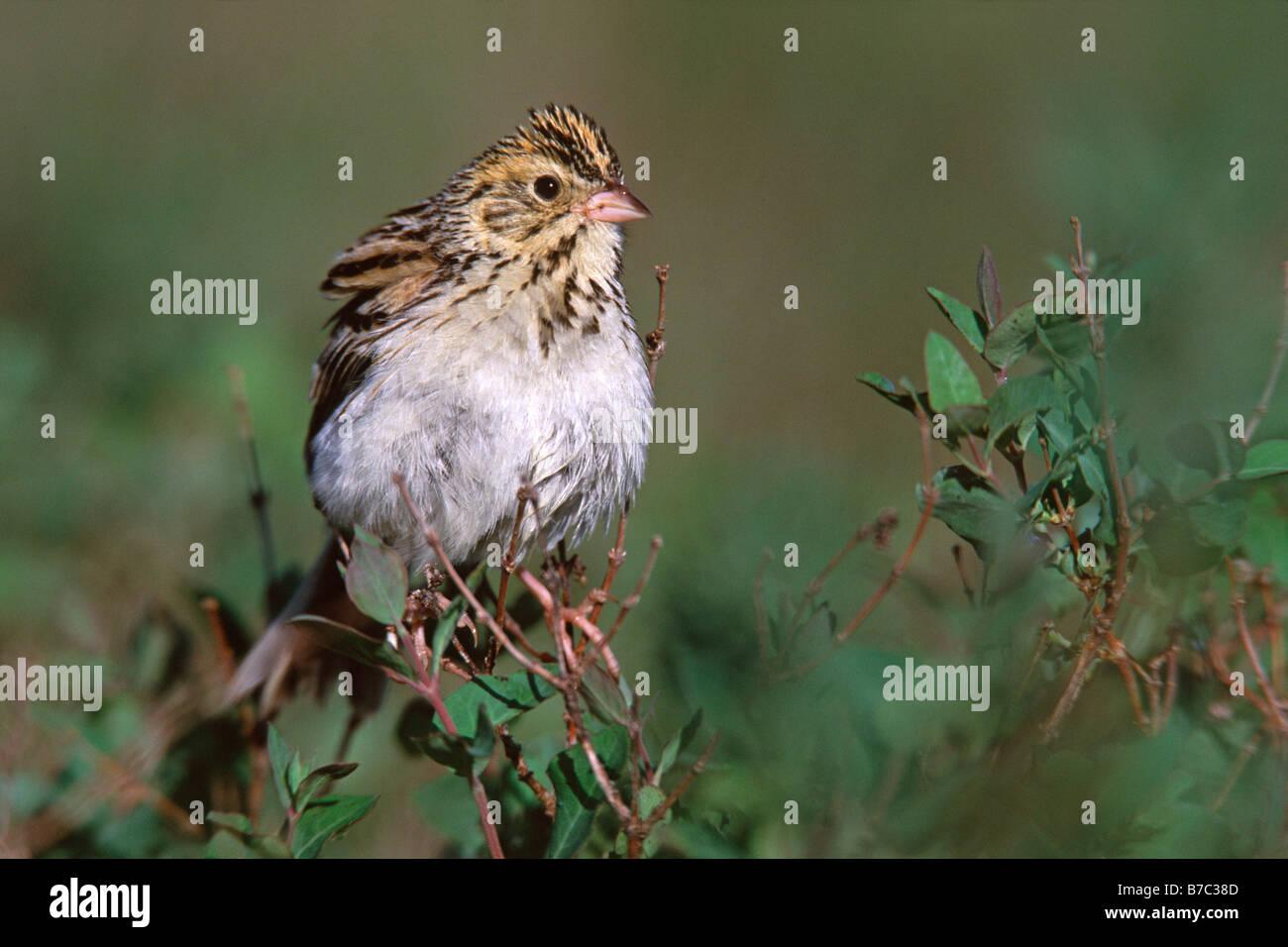 Bairds Sparrow - Stock Image