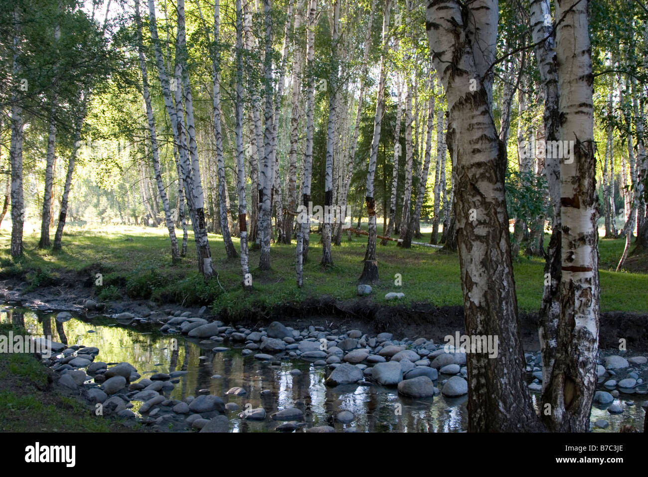 A grove of fir trees and a stream in Kanas in Xinjiang in China. - Stock Image