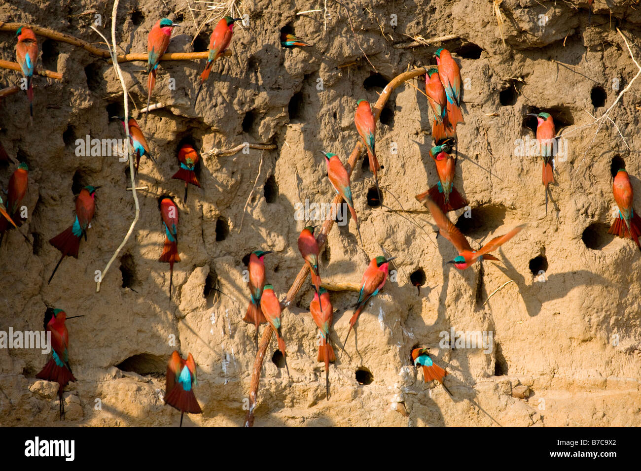 Southern Carmine Bee-eaters at their Nests in the Mud Wall River Bank in the Okavango Panhandle, Botswana - Stock Image