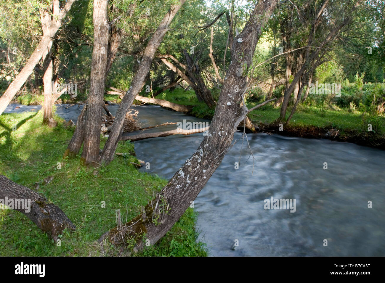 A grove of trees and a stream in Kanas in Xinjiang in China. - Stock Image