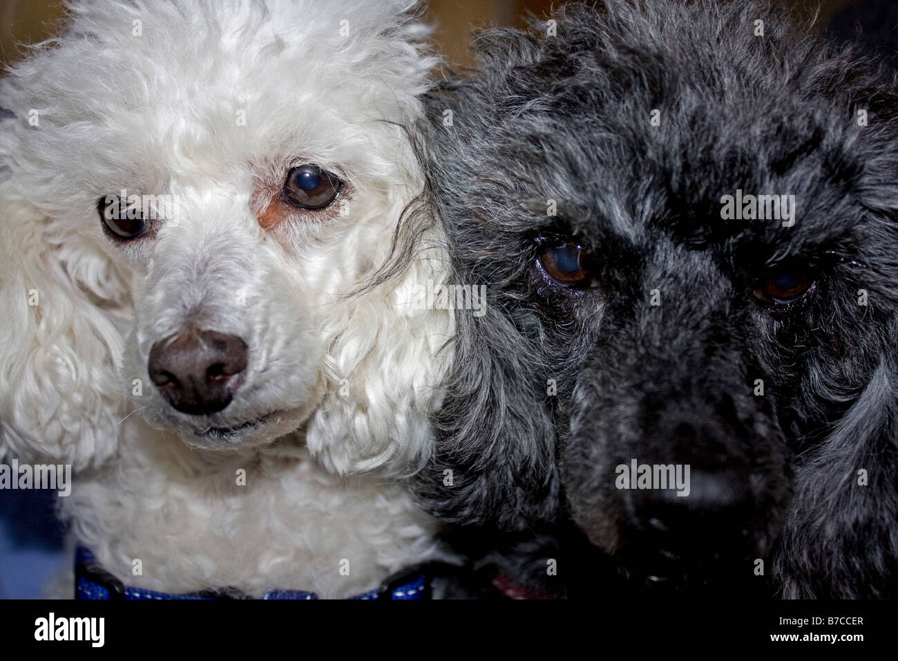 Black and white minature poodles sitting together - Stock Image