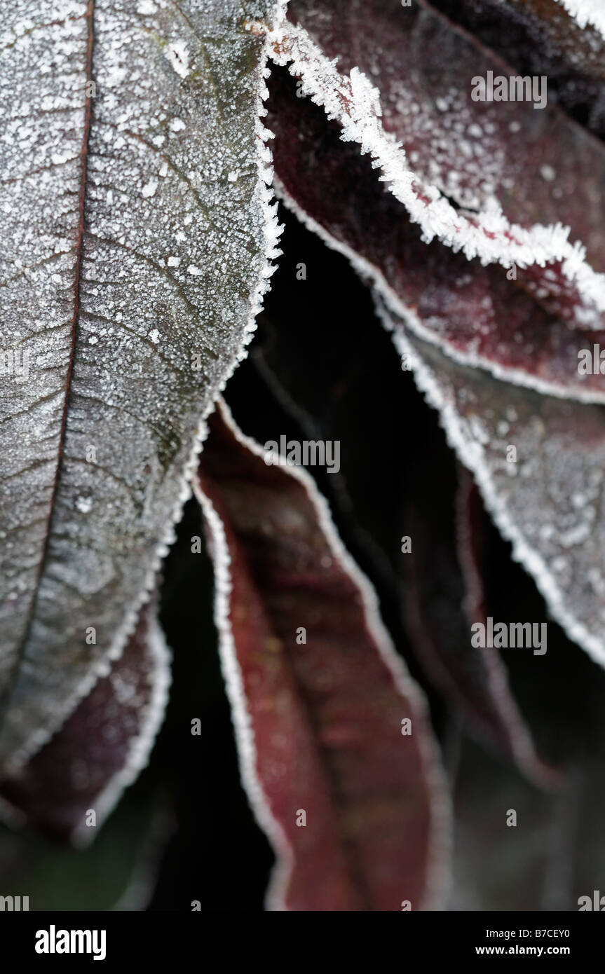 BHZ Prunus persica Peach 'Bonfire' Genetic Dwarf tree cultivar leaves covered with frost freezing cold ice - Stock Image