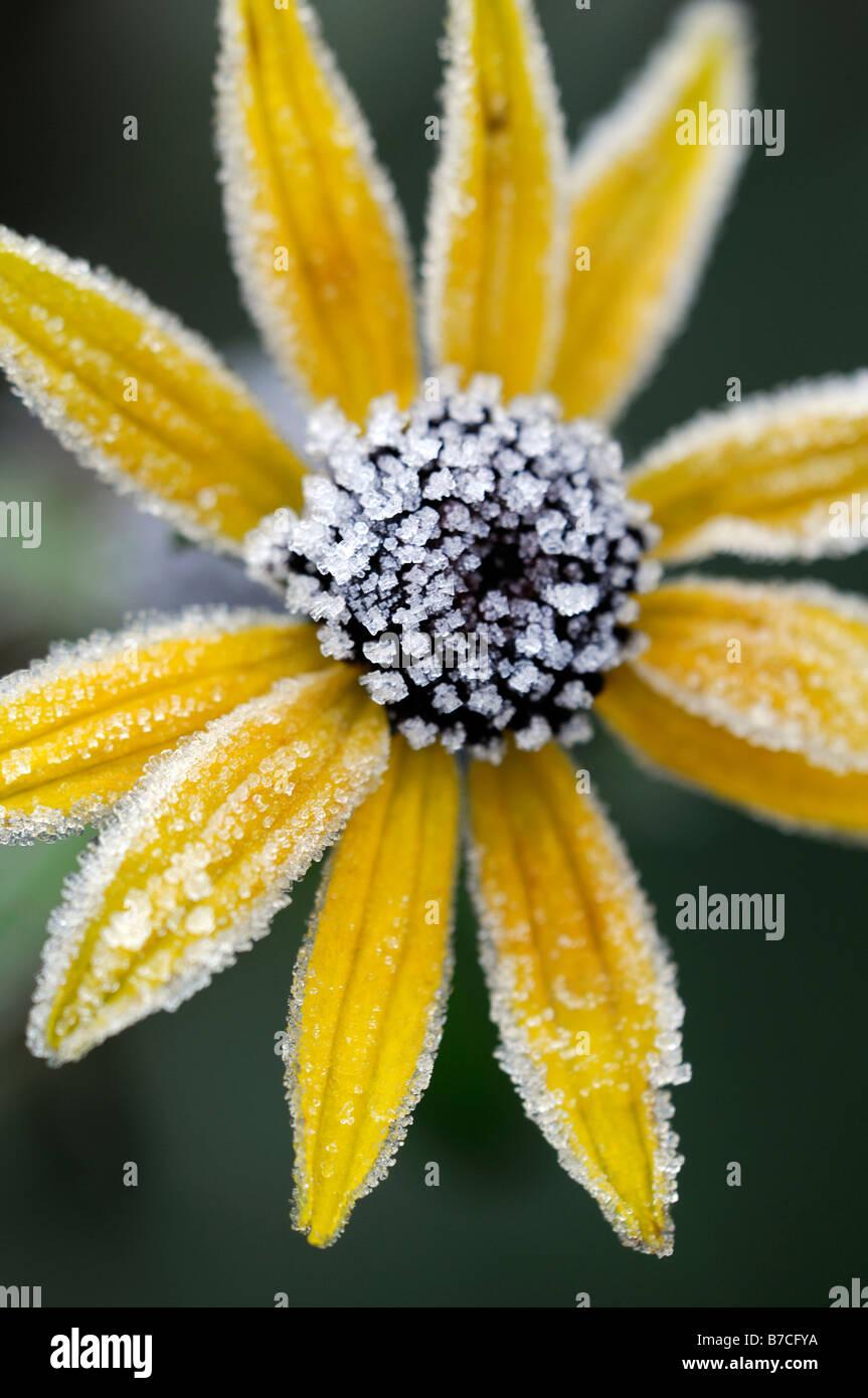 Rudbeckia fulgida Cultivar var. sullivantii 'Goldsturm' flower head flowerhead covered cover frost ice brown winter Stock Photo