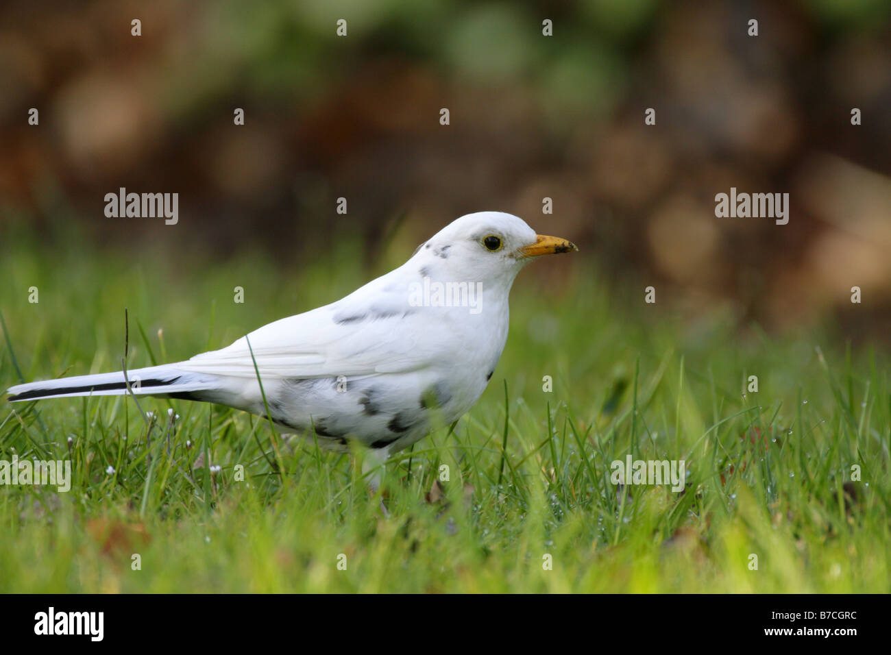 Blackbird Turdus merula single adult male with predominately white feathers standing on grass Pennington Hampshire - Stock Image