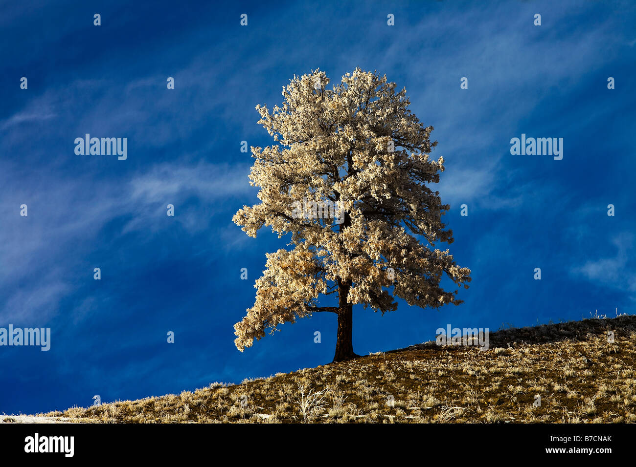 A lonely snow covered tree on the landscape - Stock Image