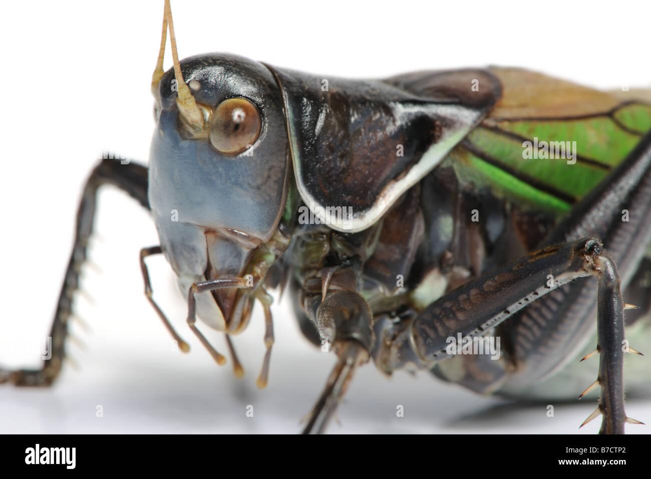 Grasshopper - Gampsocleis gratiosa - Stock Image