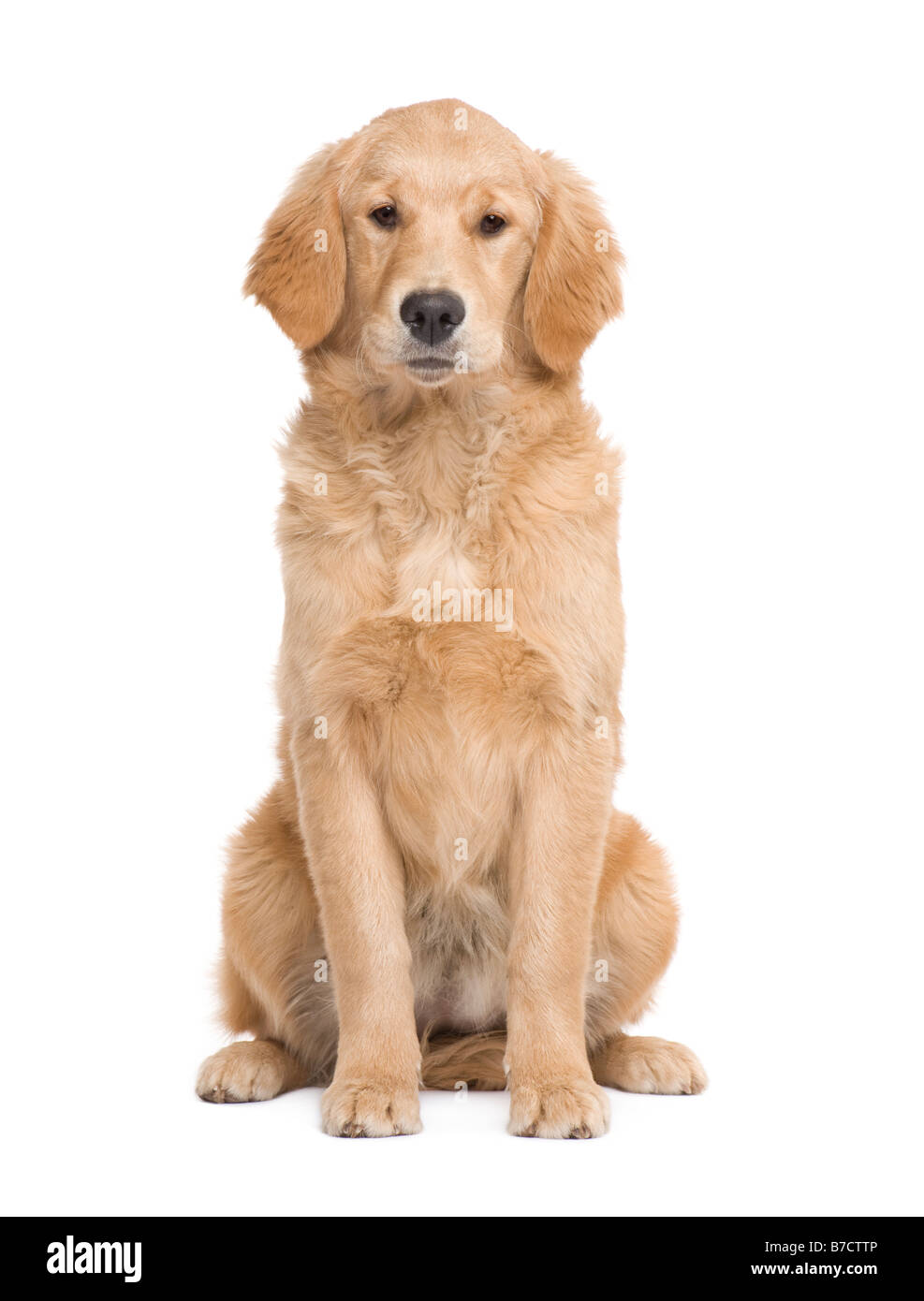Golden Retriever puppy 5 months facing the camera in front of a white background - Stock Image
