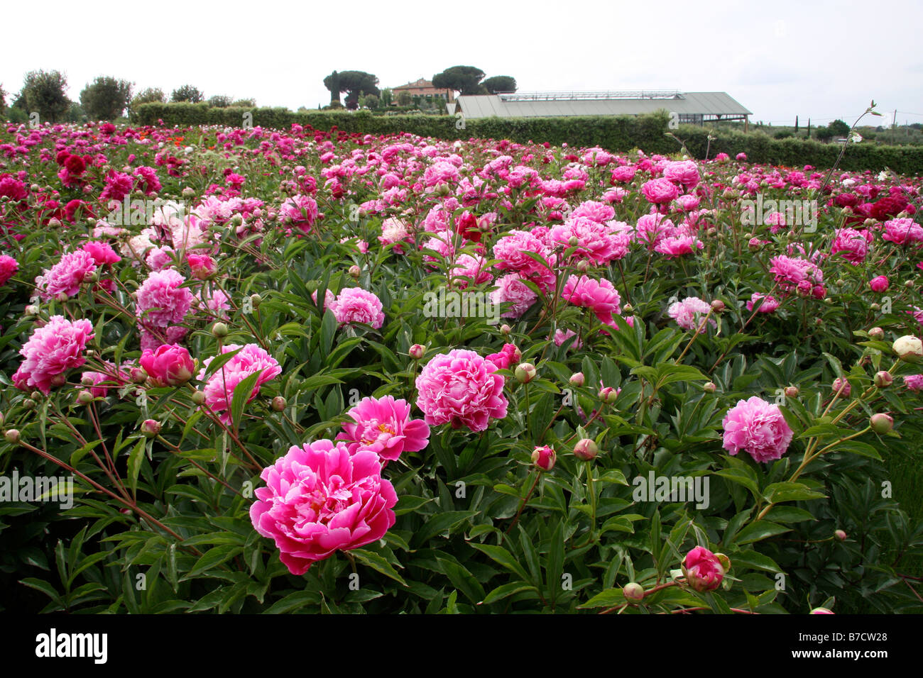 A field of tree peonies - Stock Image