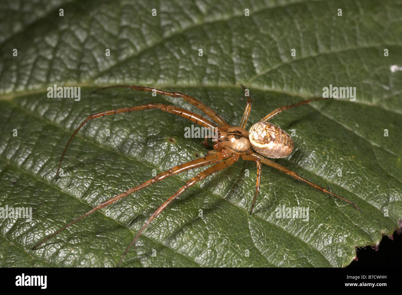 Spider at North Cliffe Woods Yorksahire Wildlife Trust Nature Reserve East Yorkshire UK - Stock Image