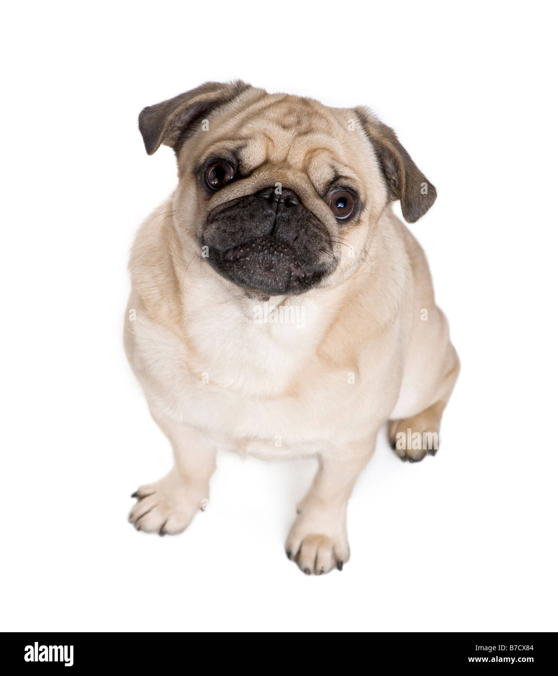 Pug 3 years in front of a white background Stock Photo