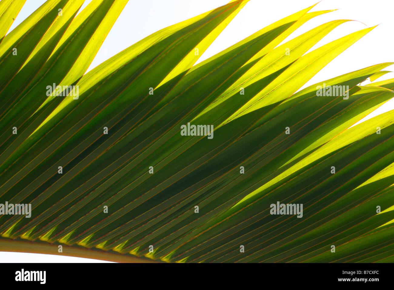 Palm tree leaf close up. - Stock Image