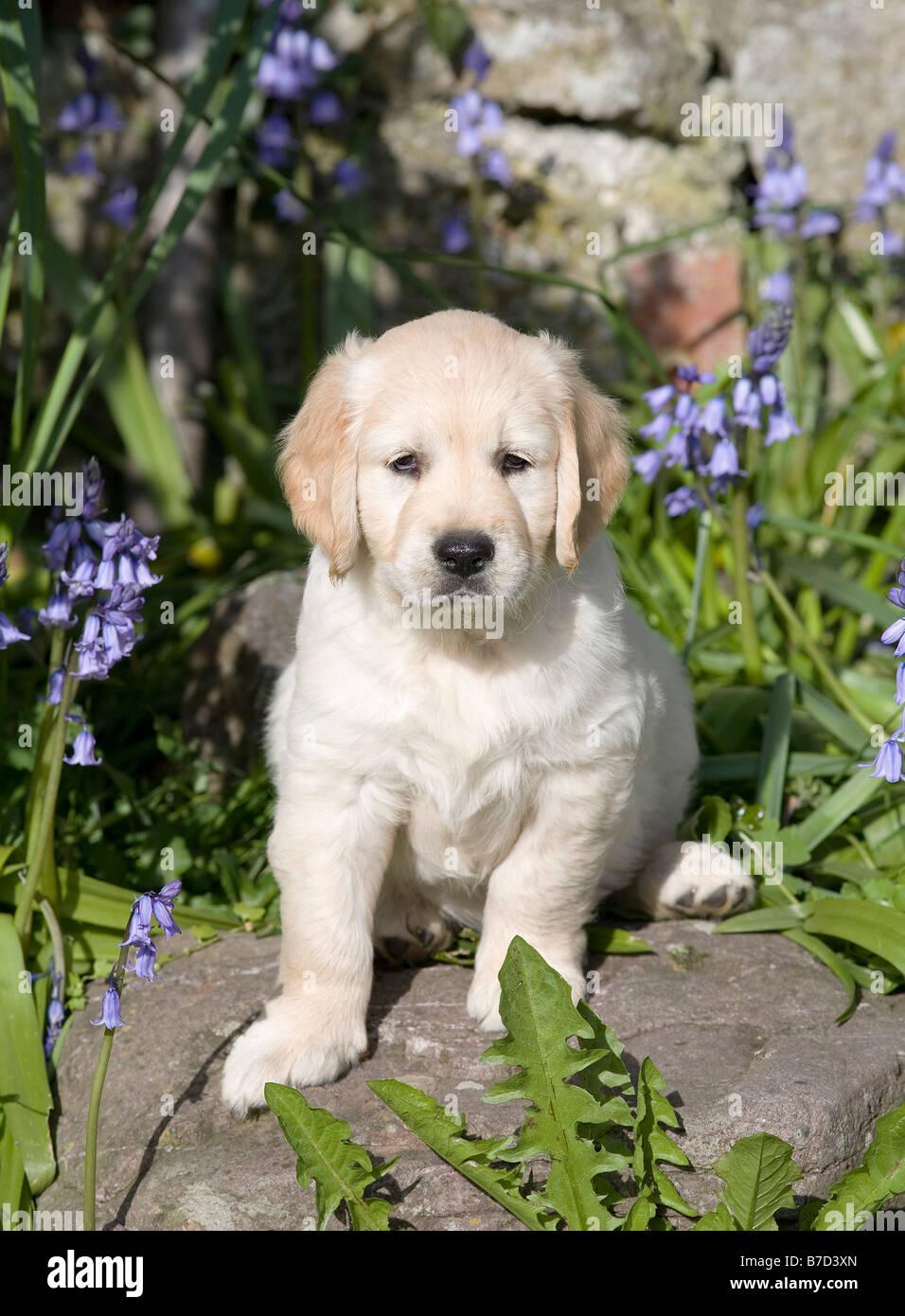 Golden Retriever Male Puppy 7 Weeks Old Yorkbeach Sandcastle Alfie