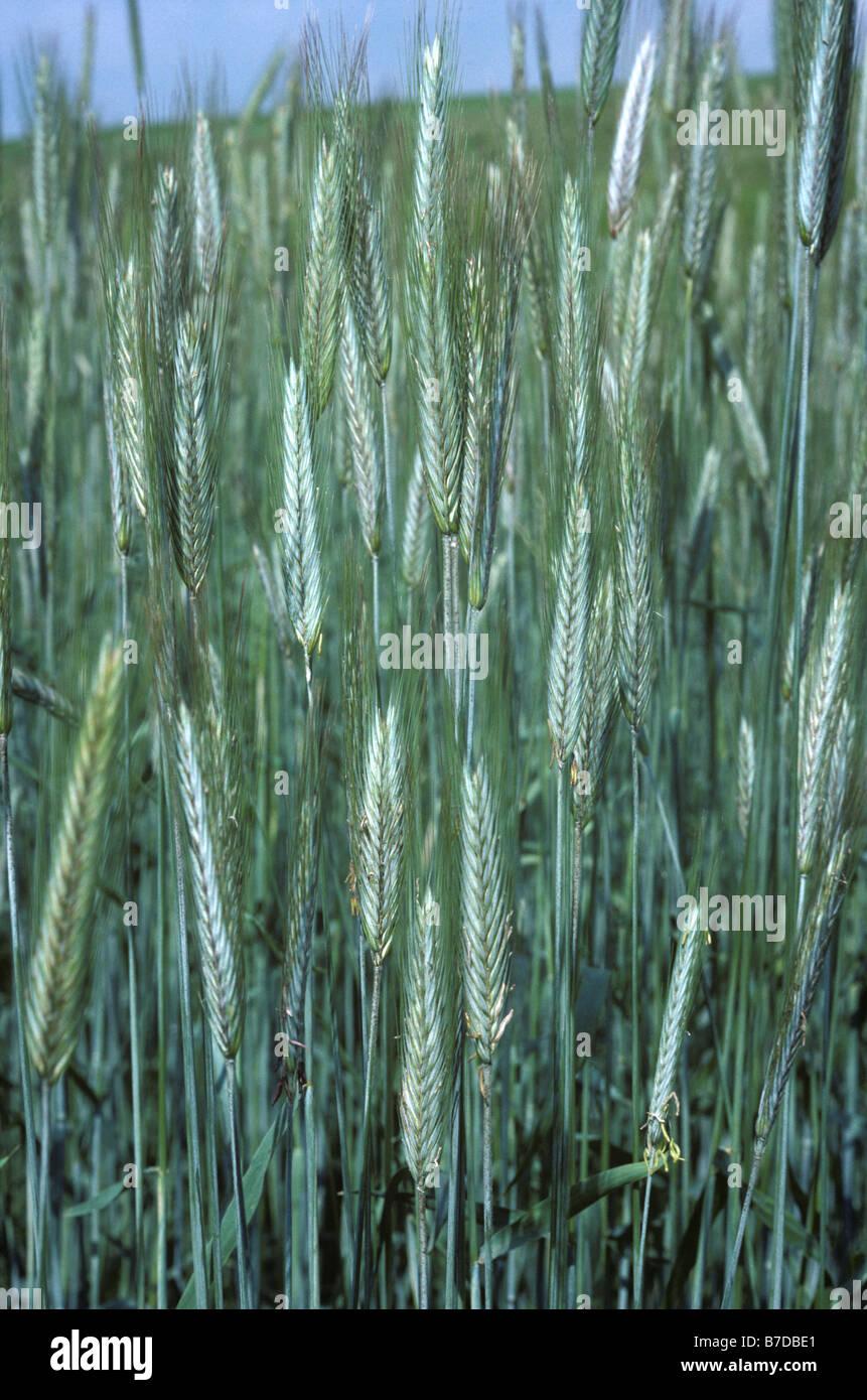 Rye crop in ear - Stock Image