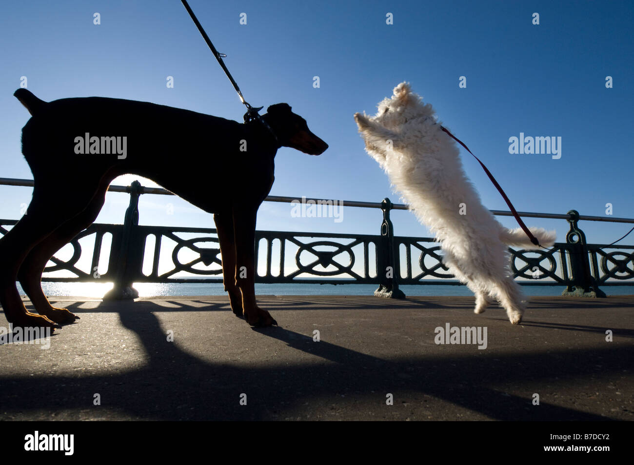 A big black doberman is eagerly greeted by a little white westie dog during a walk on Brighton seafront - Stock Image