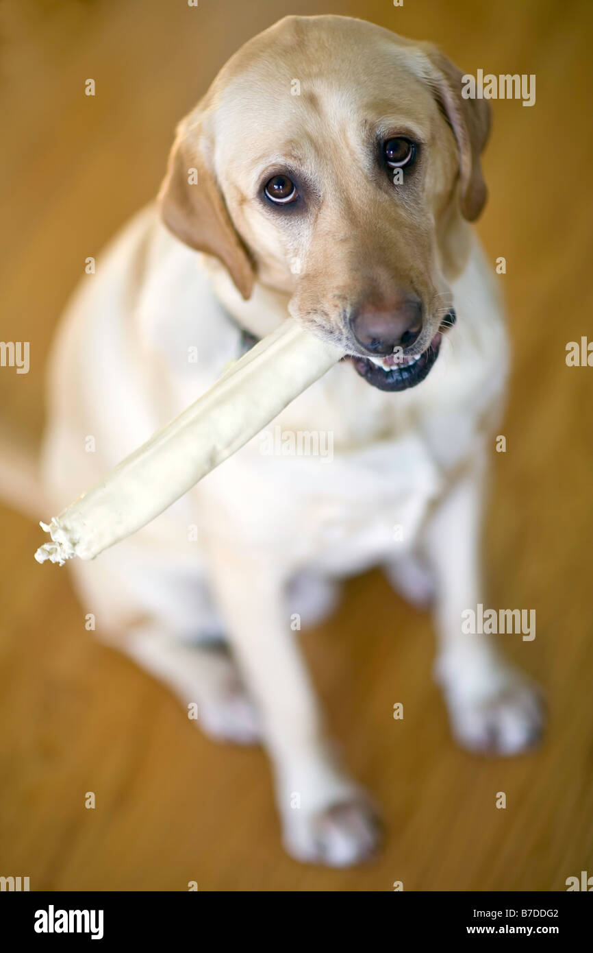 Yellow Labrador Retriever with a bone in his mouth. - Stock Image