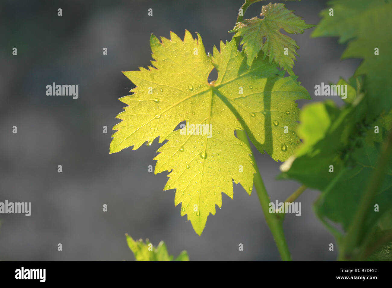 vine leaves in Rioja region, Spain - Stock Image
