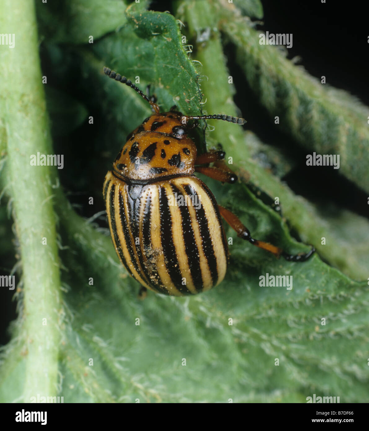 Colorado Potato Beetle Colorado Beetle Stock Photos