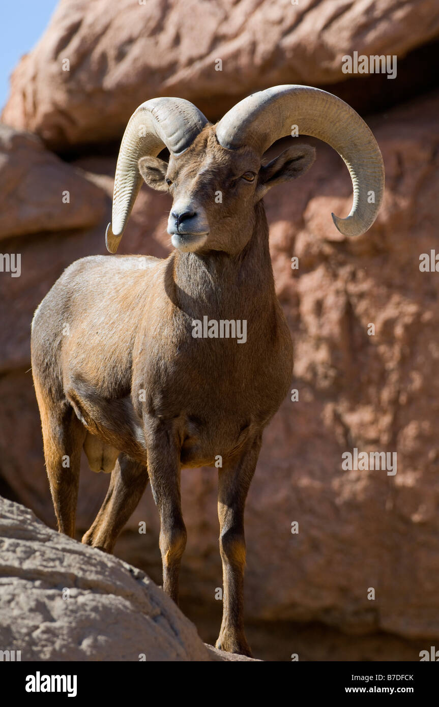 Big Horn Sheep male western mountain creature - Stock Image