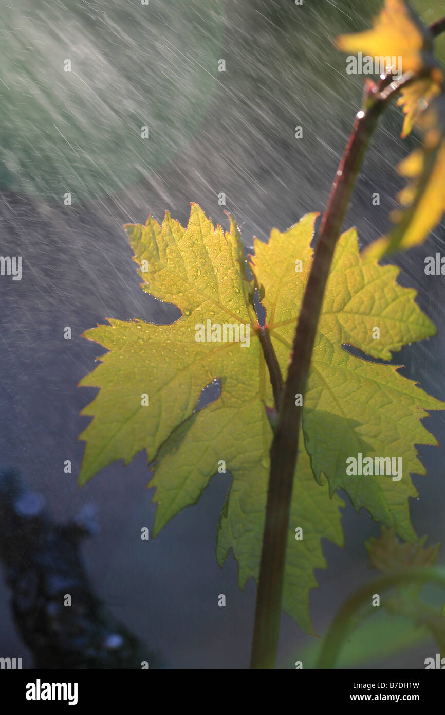 vine leaf and rain in summer - Stock Image
