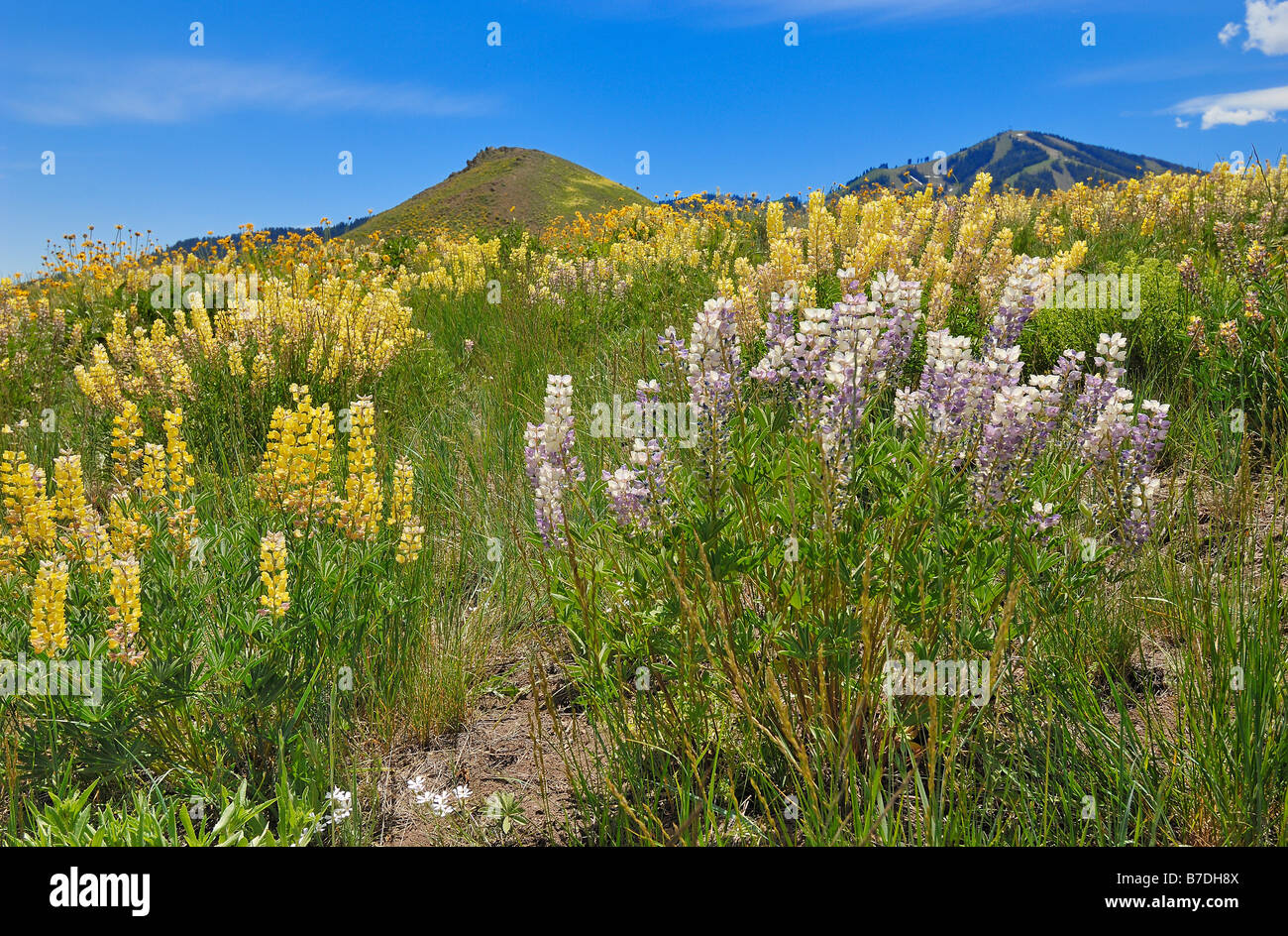 Hillside covered with wild flowers at the ski resort of Sun Valley in Idaho, United States of America - Stock Image