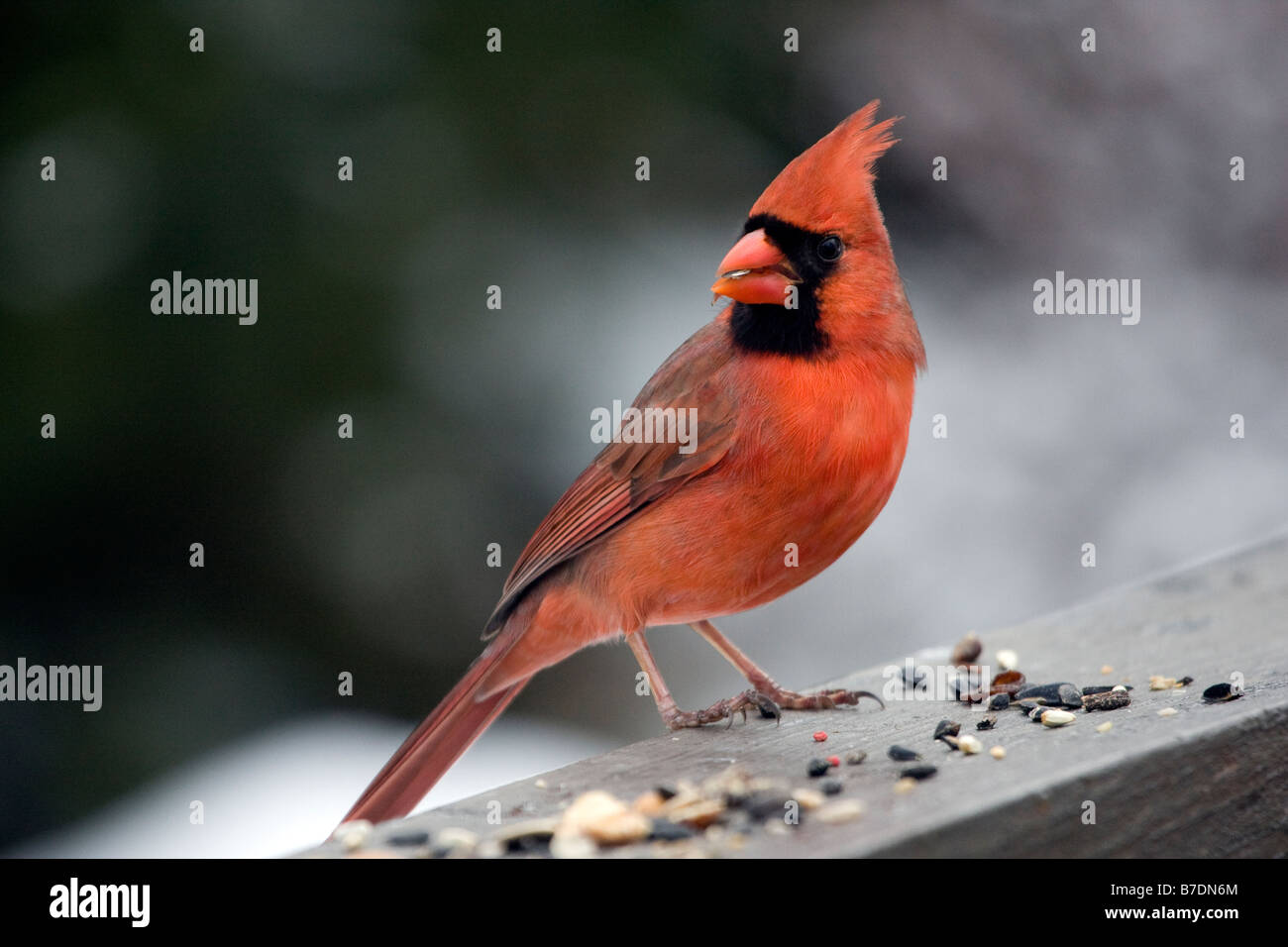 Northern Cardinal male - Stock Image