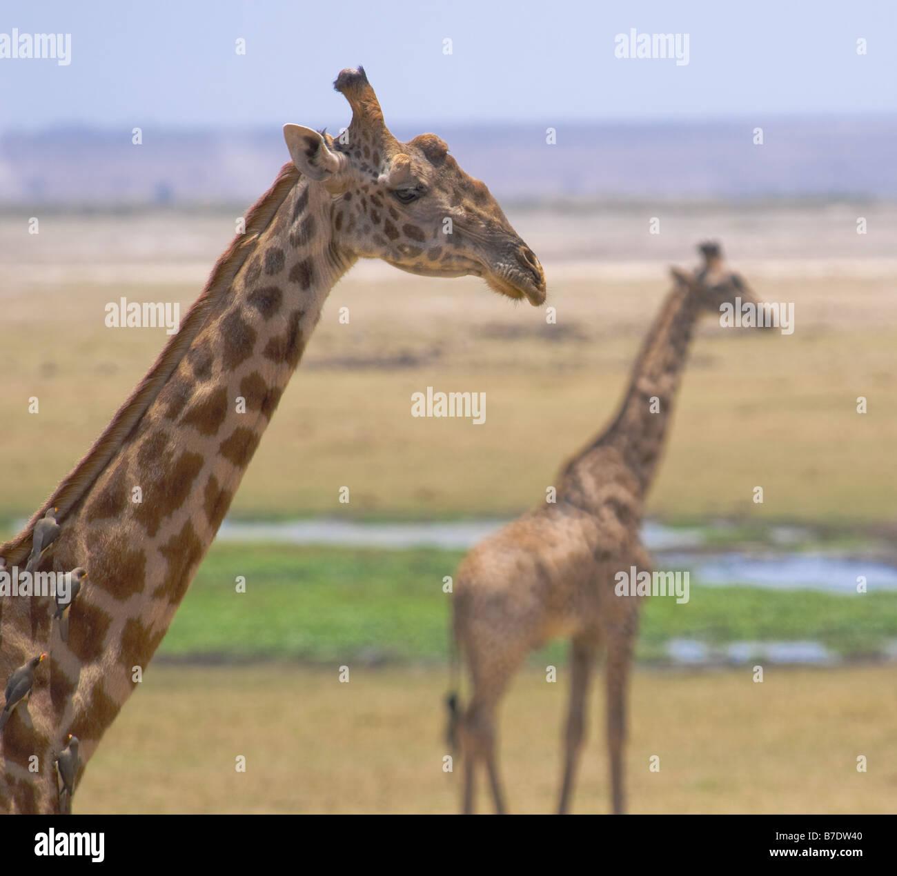 giraffes in amboseli national park kenya - Stock Image